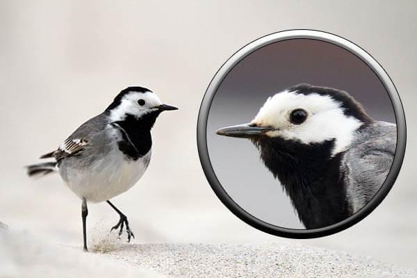Птицы Москвы-белая трясогузка