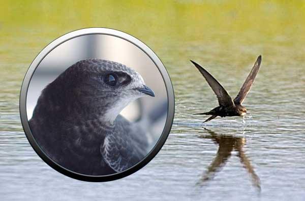 Птица черный стриж в Подмосковье
