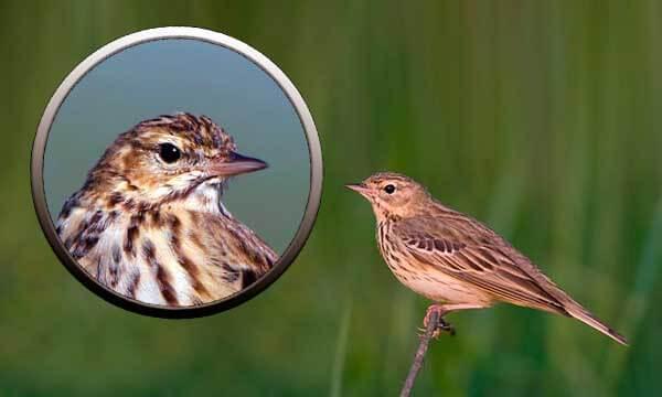 Птица лесной конек