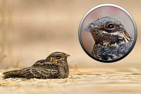 Птица козодой в Московской области