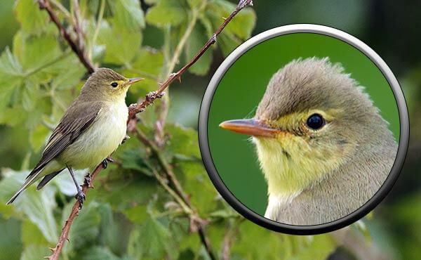 Птица зеленая пересмешка в Подмосковье