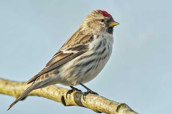 Птица чечетка обыкновенная