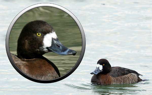 утки, чернеть, отряд гусеобразные