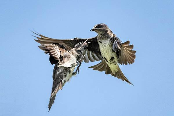 Драка птиц за территорию