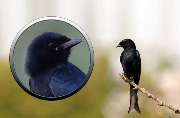 Птица черная с белым брюшком