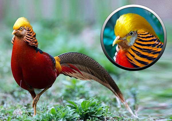 Золотой фазан - отряд куриные