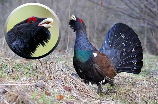 Птица глухарь - отряд куриных