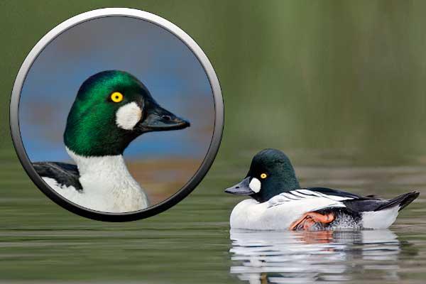 Утка гоголь, гусеобразные птицы