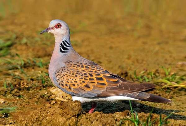 Горлица - отряд голуби