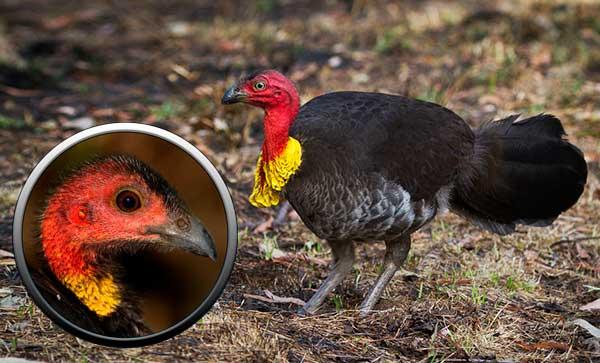 Индейка кустарная - отряд куриные