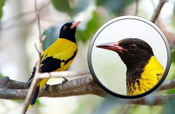 мир птиц, воробьиные, Африка