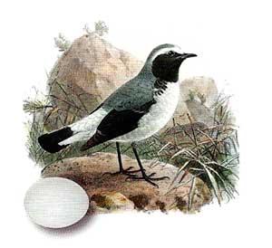 Птица каменка обыкновенная