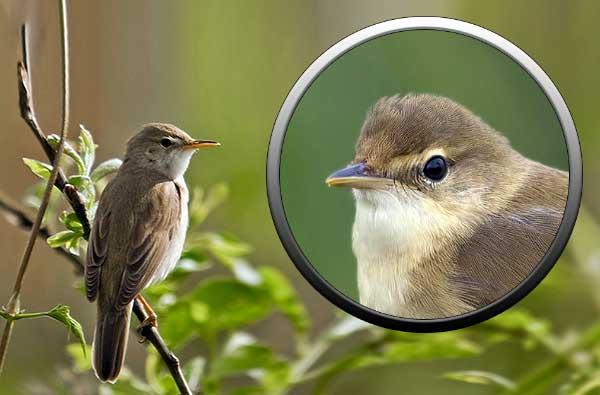 птицы отряда воробьиные
