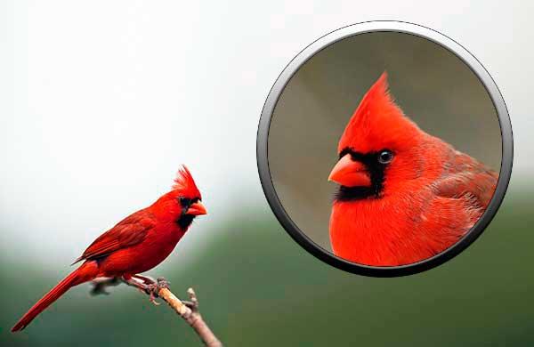 Птица красный кардинал