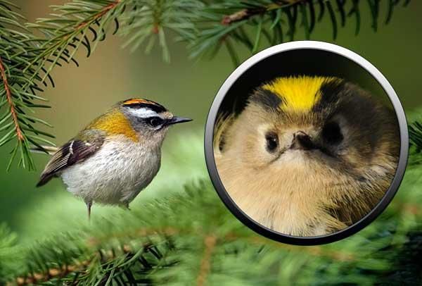 птицы, отряд воробьиных