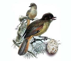 птица семейства воробьиных кукша