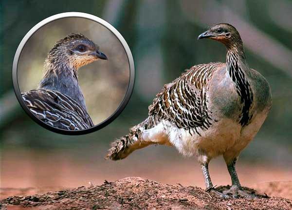 отряд куриные, большеноги, мир птиц