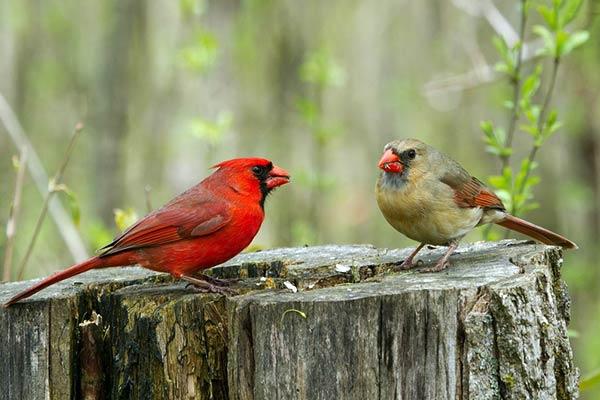 Семейная пара птиц
