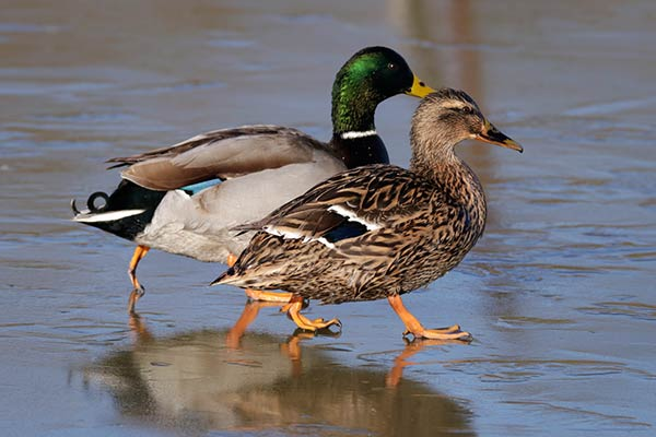 Семейные пары птиц
