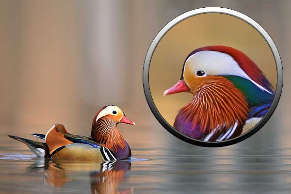 Утка мандаринка, гусеобразные, мир птиц