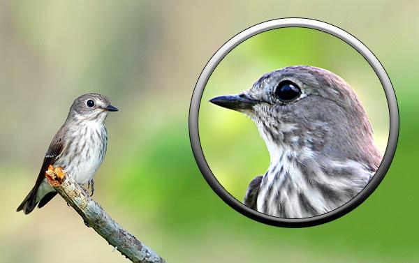 Птица пестрогрудая мухоловка