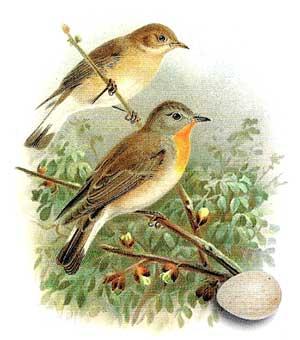 семейство мухоловковые, птицы