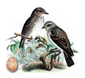 птица семейства мухоловковые