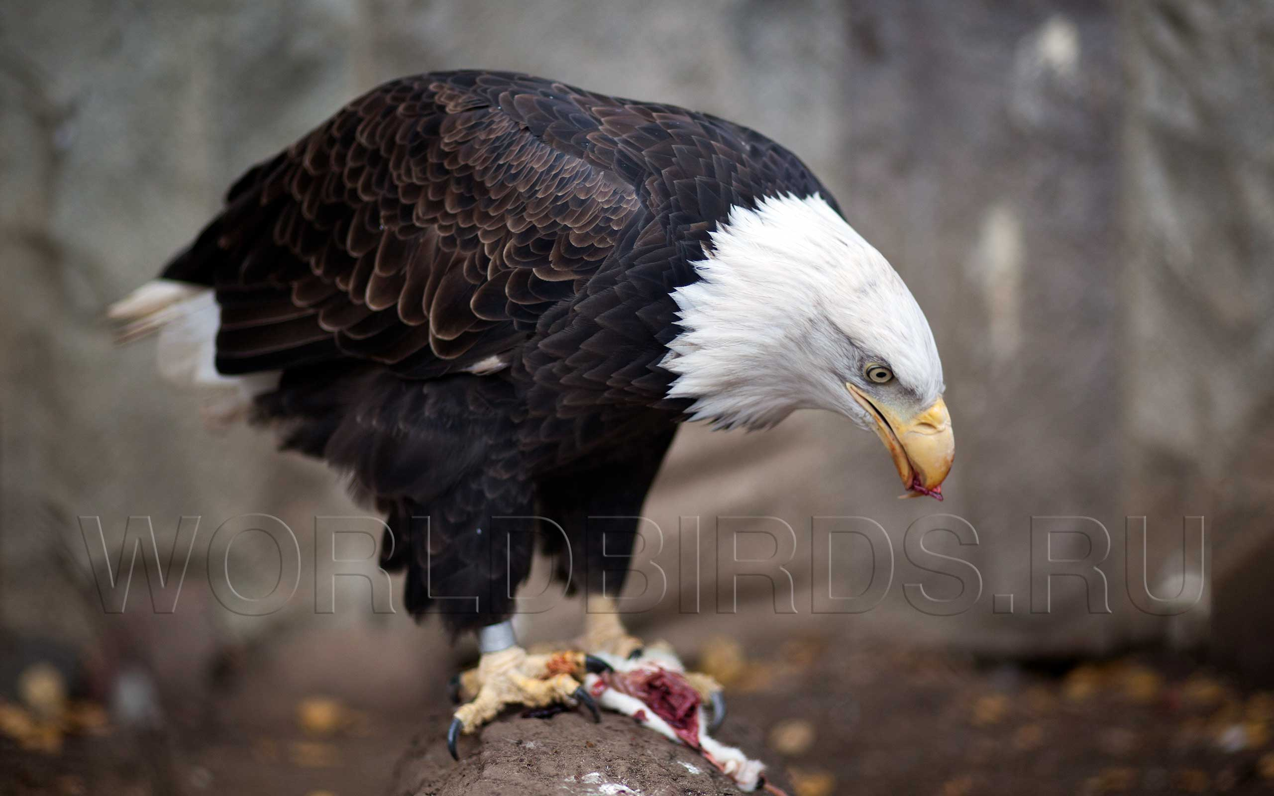 Хищная птица орлан белоголовый