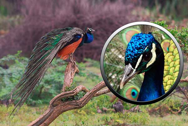 Птица павлин - отряд куриные