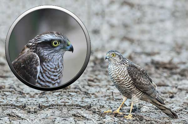 Перепелятник - хищные птицы Подмосковья