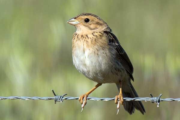 Птица просянка