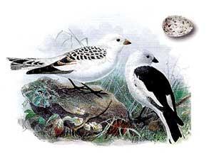 пуночка - отряд воробьиные, семейство овсянковые