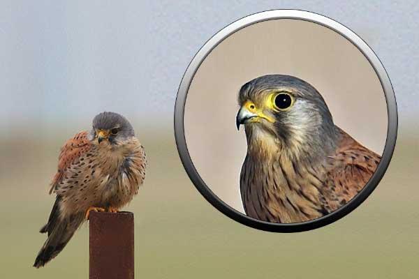 Хищная птица Подмосковья - пустельга
