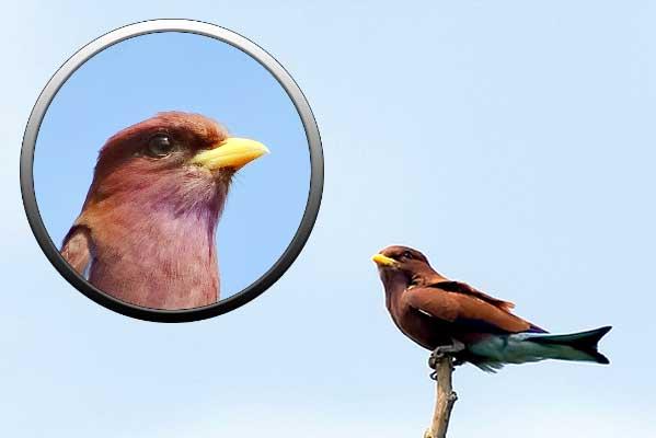 птицы отряда ракши