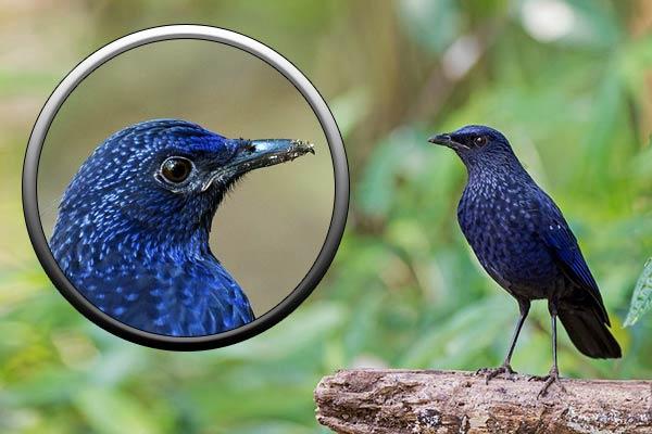 Синяя птицы - отряд воробьиные