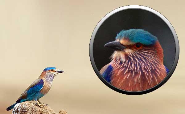 птицы ракши, мир птиц