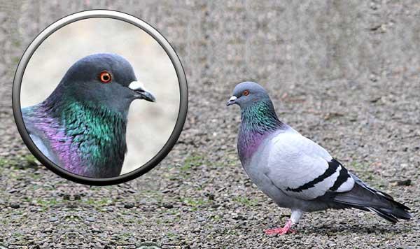 Сизый голубь в Москве и Подмосковье