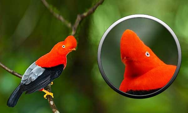 Птица скальный петушок