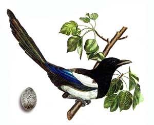 птица семейства врановых