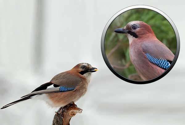 Птица сойка - отряд воробьиные птицы