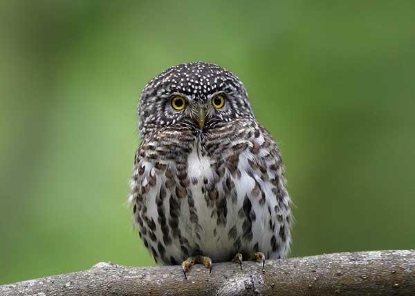 Птица сычик - отряд совы