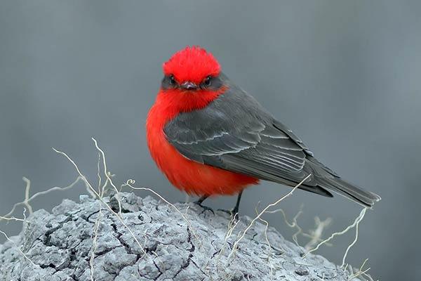 Птица красный тиранн