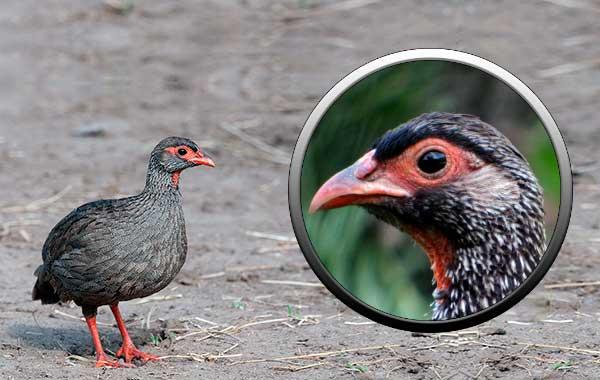 птицы, отряд куриных, фазановые