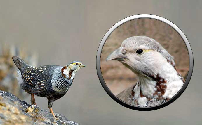 Птица улар - отряд куриных
