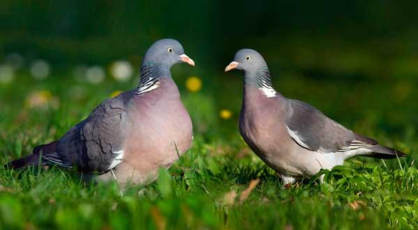Отряд голуби-вяхирь