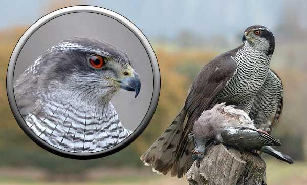 Тетеревятник, хищная птица Подмосковья