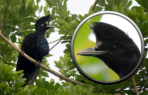 Зонтичная птица-головач
