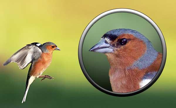 Птица зяблик - отряд воробьиные